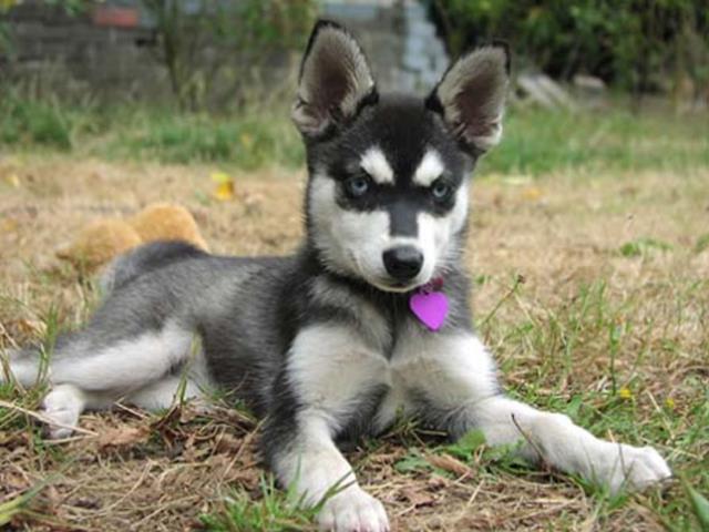 آشنایی با نژاد سگ آلاسکن کلیی کایی Alaskan Klee Kai