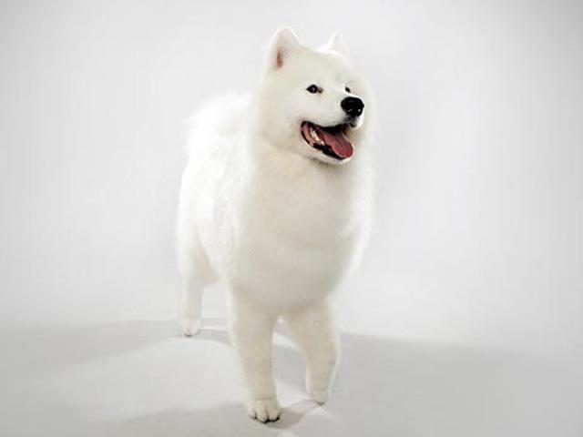 نژاد سگ ساموید Samoyed