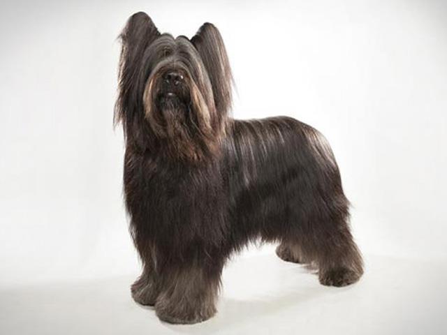 آشنایی با نژاد سگ بریارد Briard