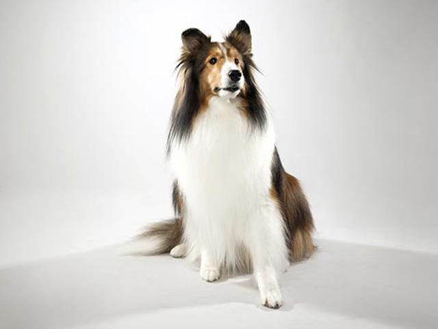 سگ شتلند شیپداگ Shetland Sheepdog
