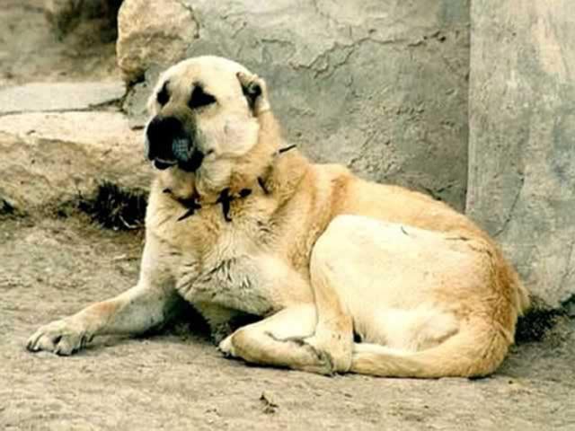 آشنایی با نژاد سگ سرابی Sarab