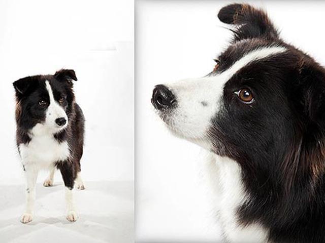 نژاد سگ بردر کولی Border Collie
