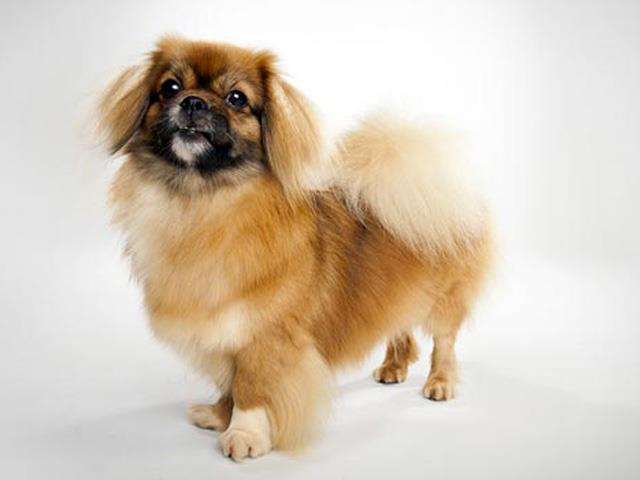 سگ تیبتن اسپانیل Tibetan Spaniel