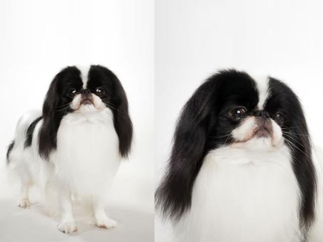 نژاد سگ جاپانیز چاین Japanese Chin