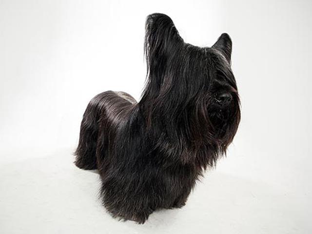 نژاد سگ اسکای تریر Skye Terrier