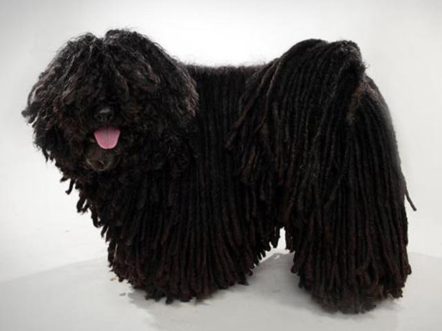 آشنایی با نژاد سگ پولی Puli