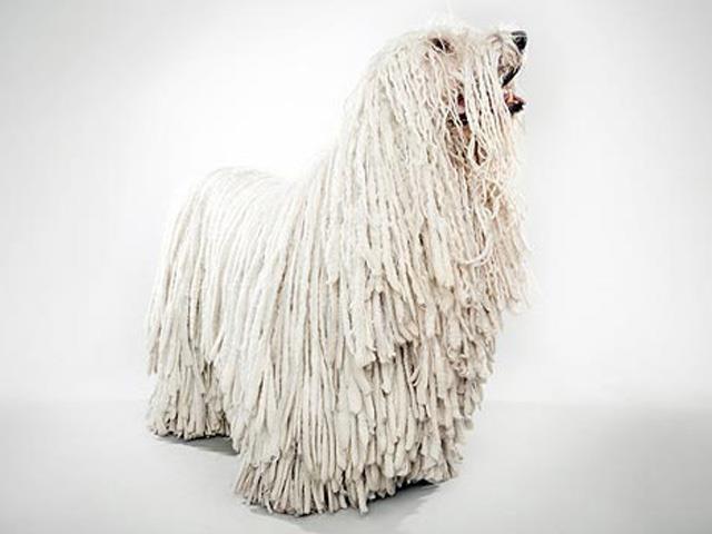 آشنایی با نژاد سگ کمندور Komondor