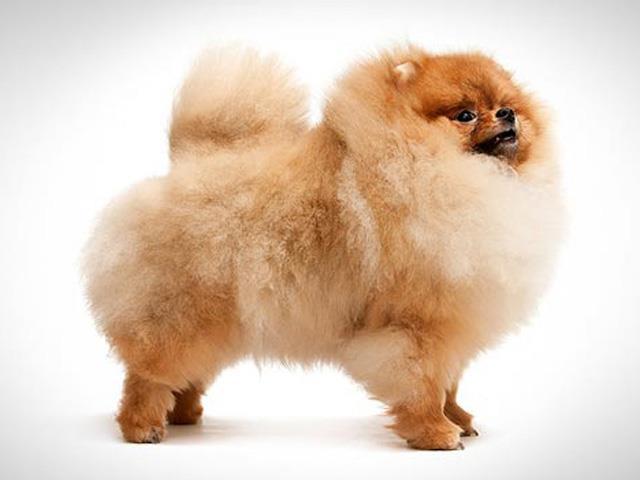 نژاد سگ پامرانیان Pomeranian