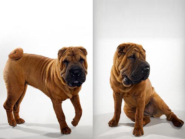 نژاد سگ چاینیز شارپی Chinese Shar-Pei