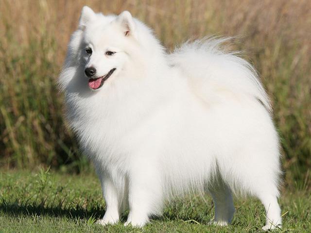 نژاد سگ جاپانیز اشپیتز Jpanese Spitz