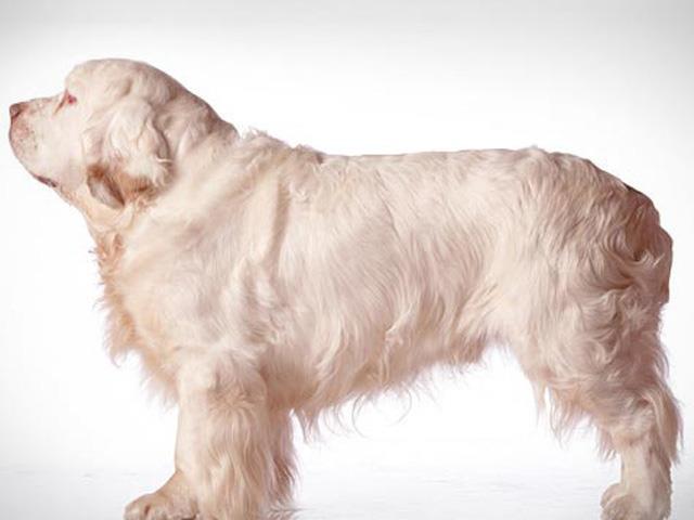 سگ کلامبر اسپانیل Clumber Spaniel