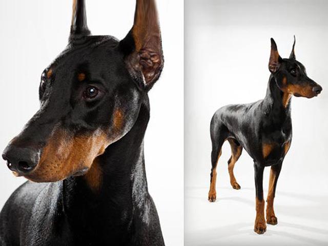 آشنایی با نژاد سگ دوبرمن Doberman