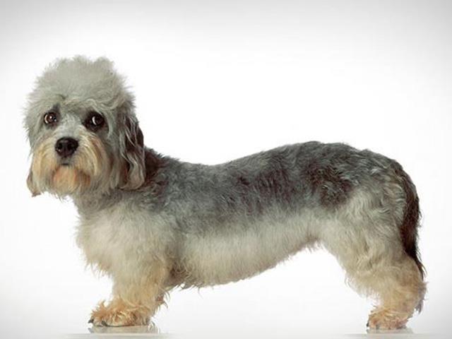 نژاد دندی دینمنت تریرDandie Dinmont Terrier