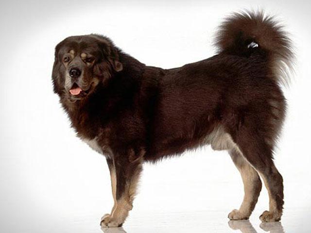 سگ تیبتن ماستیف Tibetan Mastiff
