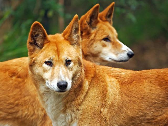 آشنایی با نژاد سگ دینگو Dingo