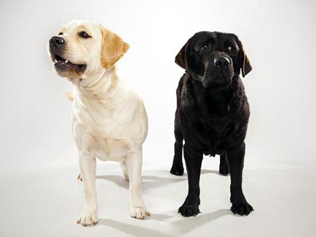 نژاد لابرادور رتریور Labrador Retriever