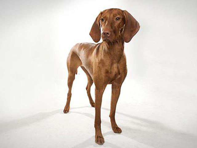 آشنایی با نژاد سگ ویشلا Vizsla