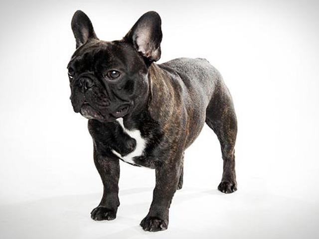 نژاد فرنچ بولداگ French Bulldog