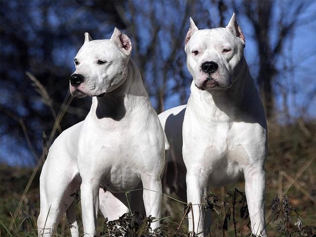 نژاد سگ داگو آرژانتینو Dogo Argentino