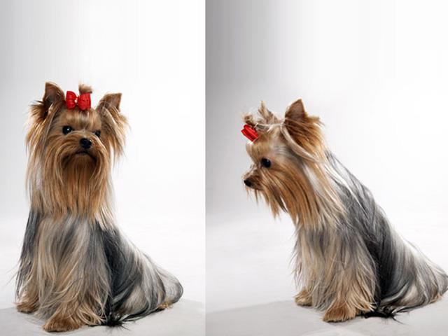 نژاد سگ یورکشایر Yorkshire Terrier