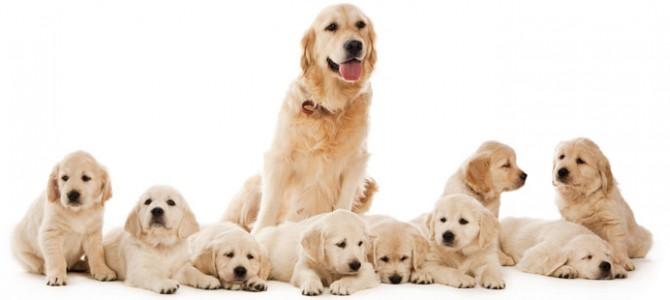 درمان و پیشگیری از حاملگی کاذب در سگ