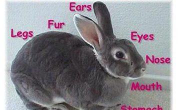آشنایی با آناتومي خرگوش
