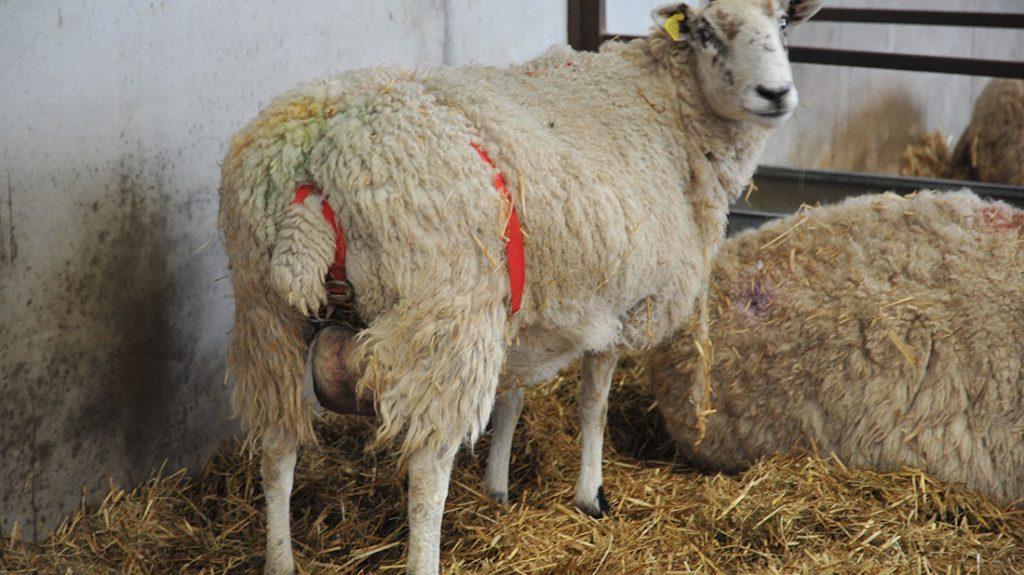 سقط جنین در گوسفند