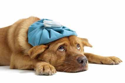 انواع بیماریهای ویروسی در سگ