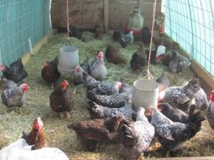 وظیفه بستر در مرغداری چیست