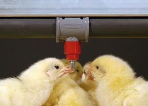 نحوه محاسبه تعداد آب خوری نیپل در مرغداری