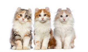 گربه آمِریکَن کِرل American Curl