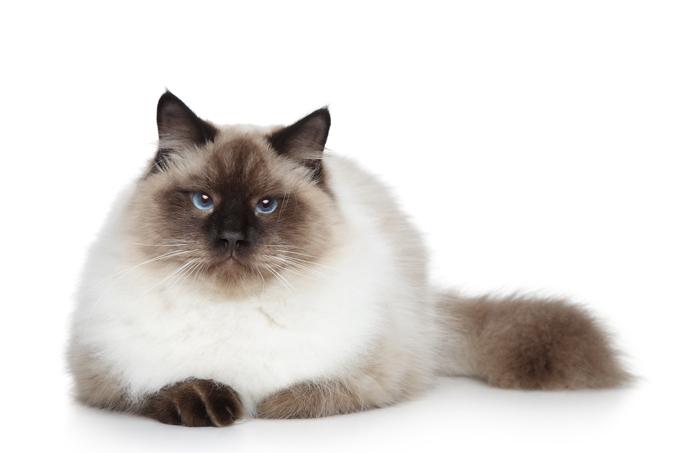 آشنایی با گربه بیرمَن Birman