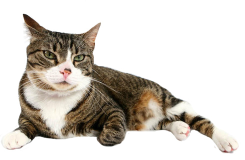 آشنایی با گربه Bobtail