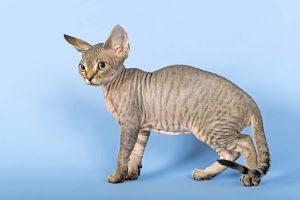 گربه دِوُن رِکس Devon Rex