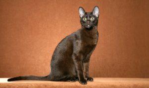 گربه هاوانای قهوه ای Havana Brown