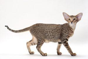 آشنایی با گربه Oriental