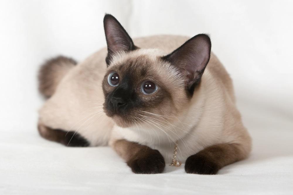 نژاد گربه سیامی Siamese cat