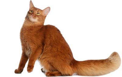 آشنای با گربه نژاد سومالی Somali