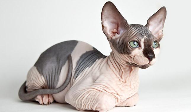 آشنایی با گربه اِسفینکس آبی Sphynx