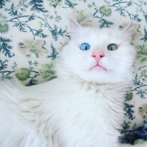 آشنایی با گربه آبی Ragdoll