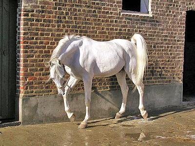 اسب باديه نشينان صحرا