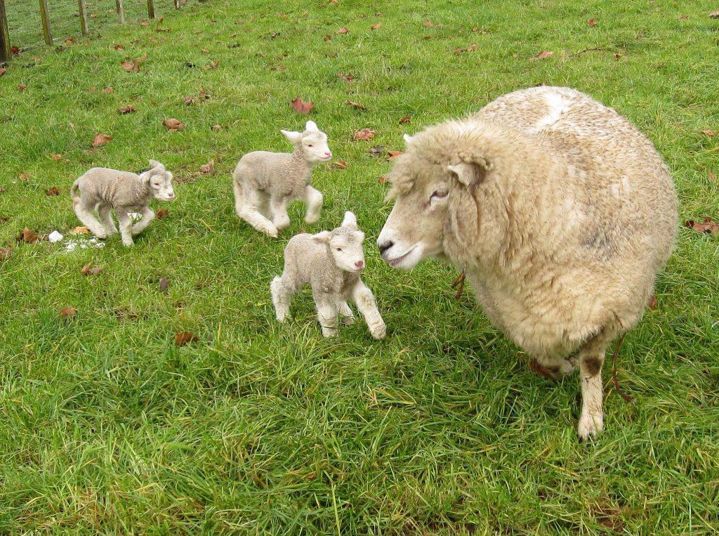 آشنایی با انواع بيماريهاى گوسفند