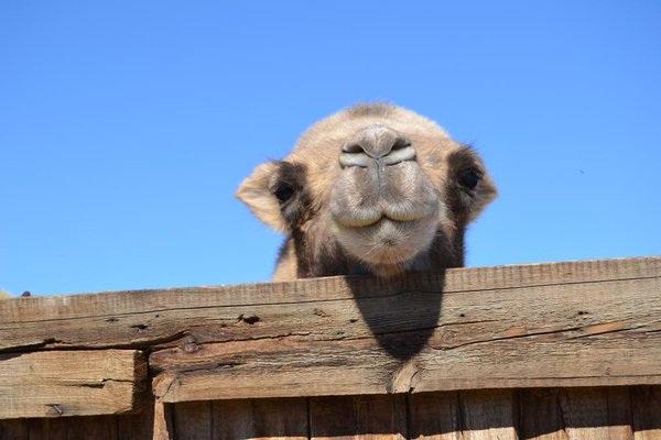 آشنایی با بیماری آبله شتر Camel Pox
