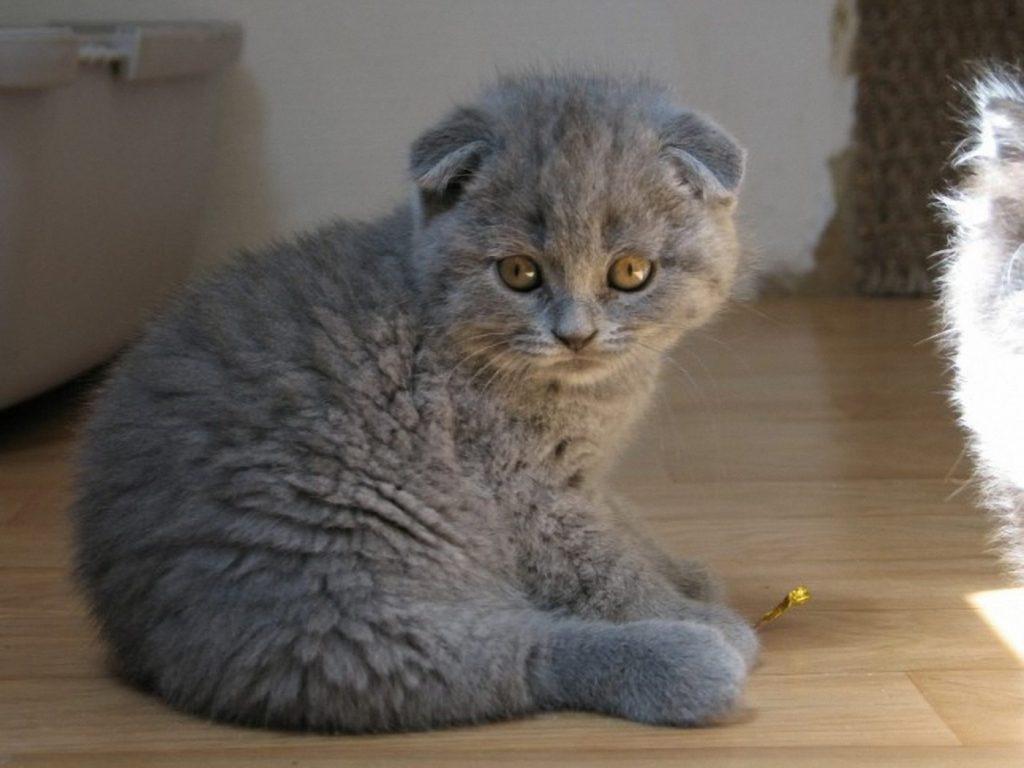 آشنایی با گربه Scottish Fold