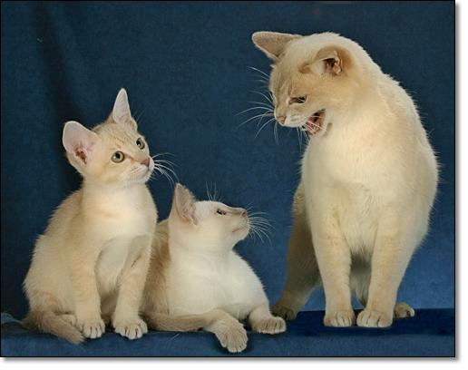 آشنایی با گربه تونکینِس Tonkinese