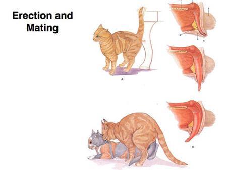 آشنایی با توليد مثل و آبستني در گربه