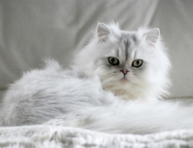 آشنایی با گربه چین چیلا