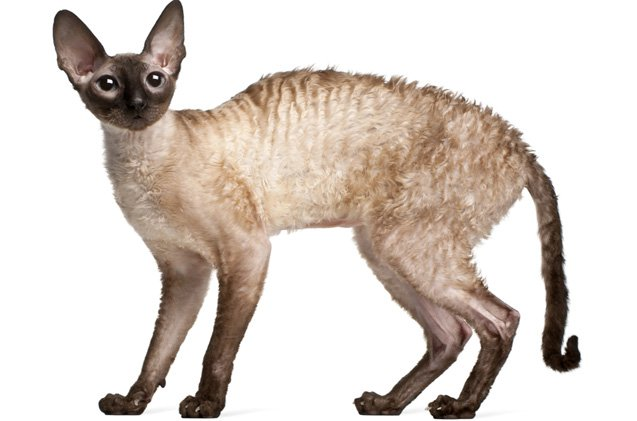گربه کرنیش رکس Cornish rex