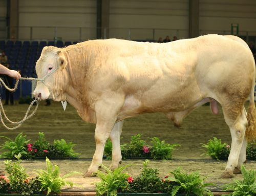 معرفی نژاد گاوهای گوشتی و شیری