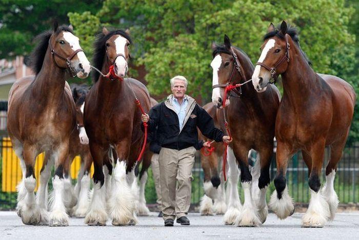 معرفی اسب نژاد خون گرم